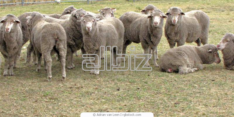شراء Sheep