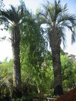شراء Palm Trees